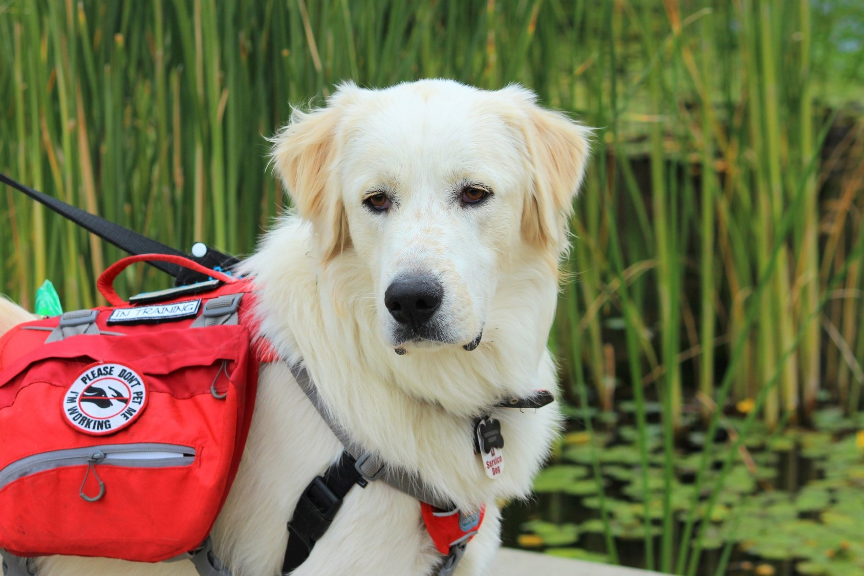 Service Animals are More than Pets -- They are Working Companions